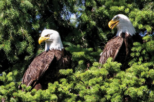 """Eagle Pair,"" which Hares photographed at San Juan Islands National Monument in Washington (Photo by David Hares)"