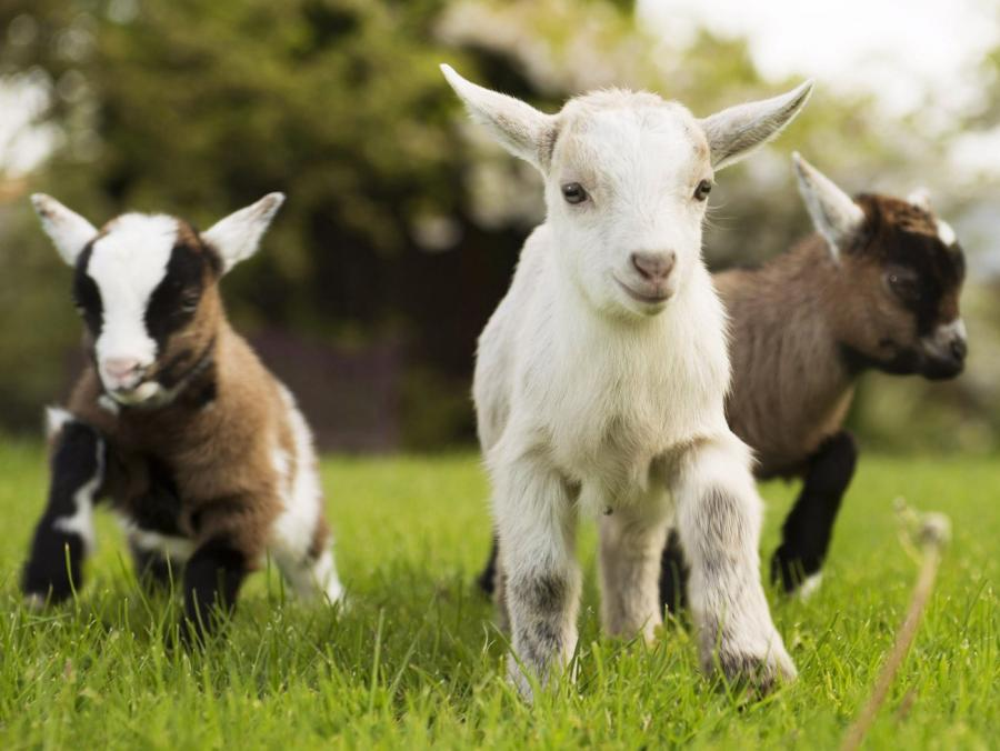 <p>Three baby goats</p>
