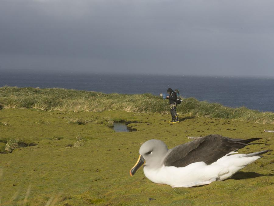 Coast photo of albatross with researcher in the distance